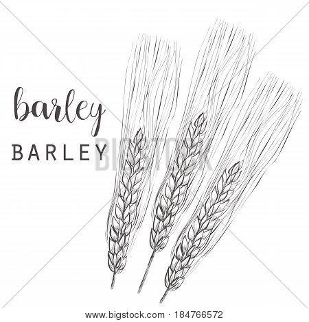 Barley sketch vector illustration. Ear of barley hand drawing