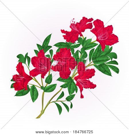 Red rhododendron twig with flowers and leaves mountain shrub vintage hand draw vector illustration