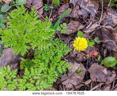 Group Of Blooming Coltsfoot Flowers On Dark Ground