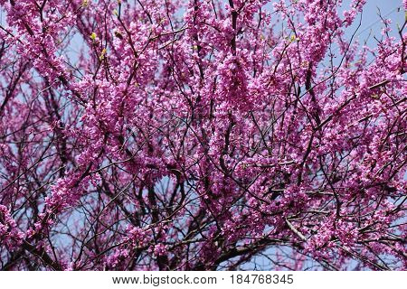Branches of cercis canadensis in full bloom