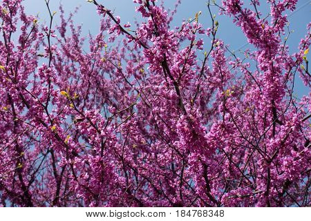 Branches Of Eastern Redbud In Full Bloom