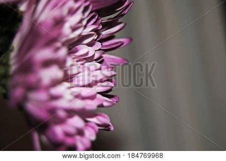 Purple flowers side view in bloom perfect for springtime, beautiful contrast through side view angle and perspective