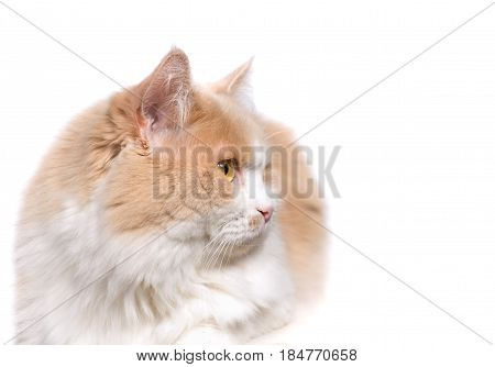 Ginger White Cat isolated over white background.. Animal portrait.