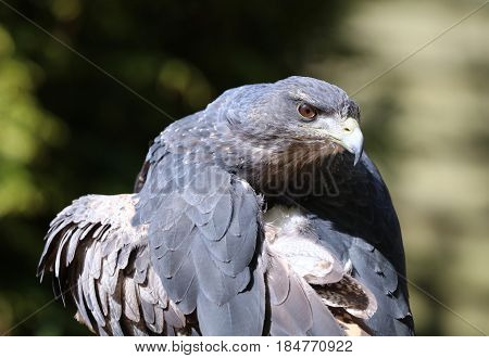 Close up of a Chilean Blue Buzzard Eagle preening