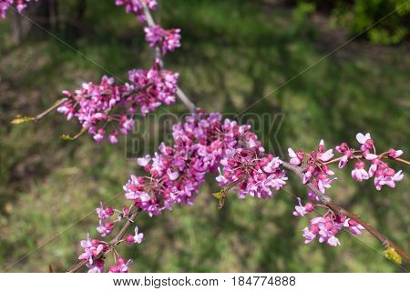 Close up of flowering branch of Cercis canadensis