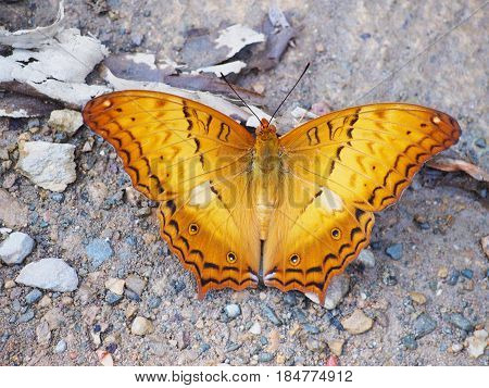 Close up top view of orange butterfly with flying wings on the ground