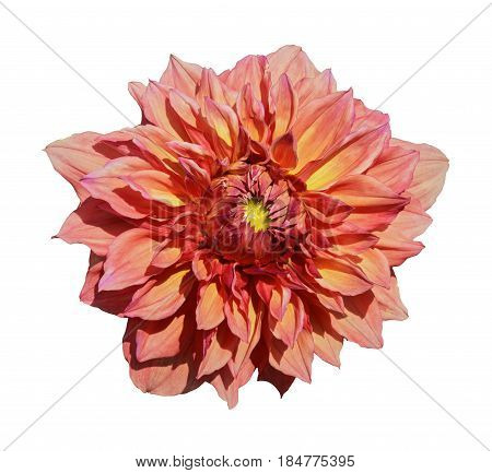 Beautiful yellow pink dahlia. Isolated on white background