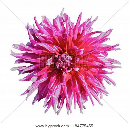 Beautiful red white dahlia. Isolated on a white background