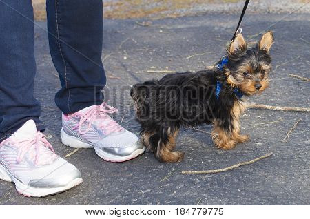 Very young Yorkie puppy next to the owner on asphalt