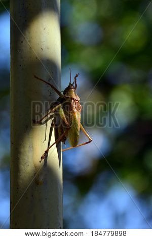 Green locusts sitting on a pipe .