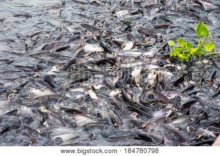A lot of big fish at river very crowder