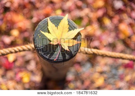 Japanese Maple Leaf On Wood Pattern Backgroud In Autumn Season At Kyoto,japan