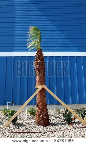 Landscaping: planting young palm tree in front of blue wall of new house/apartment