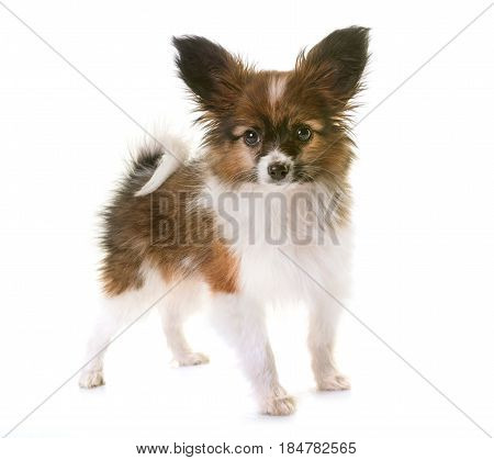 puppy papillon dog in front white background