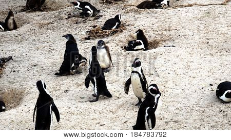 colony of South African black-footed penguins at the Boulders Beach in Simon's Town on the False Bay, on the beach are dug holes for nesting
