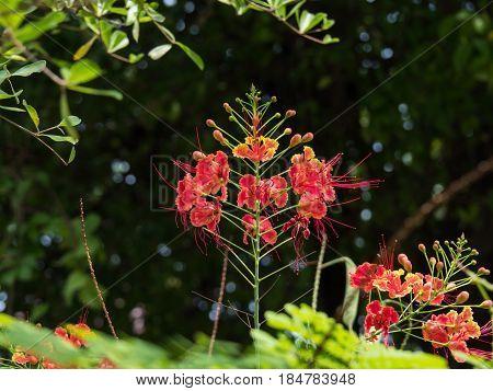 Caesalpinia Pulcherrima with red yellow orange color