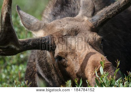 The Shiras moose in Colorado is the smallest of the moose species in North America.