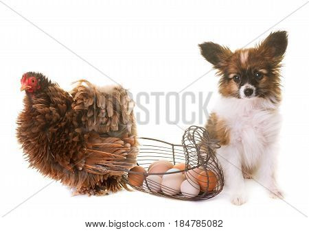 puppy papillon dog and chicken in studio