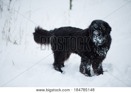 Newfoundland Stands In Deep Snow. Dog On Winter Walk. Pedigreed Dog Walks In Winter On Nature In Sno