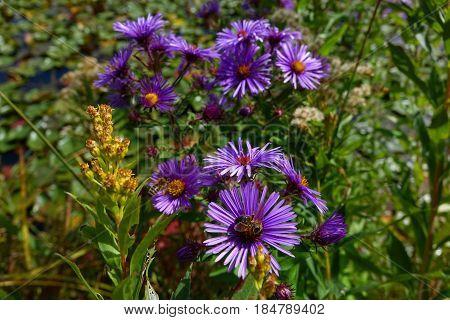 Honeybee on Purple Asters in a Boise city park, on an autumn day, Idaho.