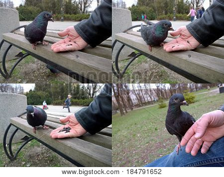 City black one-eyed pigeon feeding seeds from the hands of men