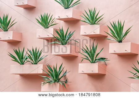Succulents on the wall. Plants in arid places growing up in the niches on the wall. Pink stucco wall. Bright green thorny plants. Patio. Stay in his yard.