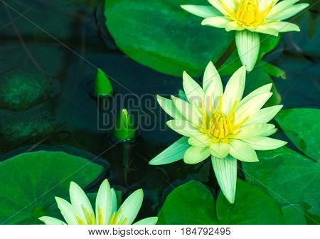 Beautiful Yellow Waterlily Or Lotus Flower In Pond