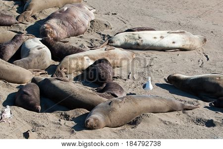 Seagull perched on Northern Elephant Seal at the Piedras Blancas Elephant Seal colony on the Central Coast of California USA