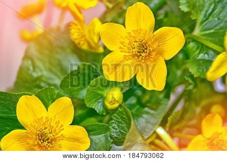 Bright colorful yellow flowers against the background of the summer landscape.