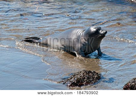 Baby Northern Elephant Seal Pup at Piedras Blancas Elephant Seal colony on the Central Coast of California US