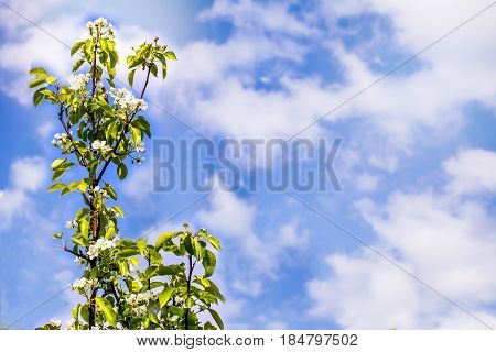 Flowering branch of apple tree against summer sky background