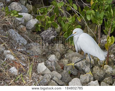 Snowy Egret at Ding Darling Wildlife Preserve