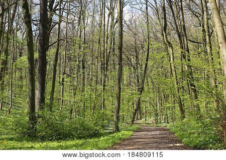 Forest vegetation awakening in spring. Path in spring green park.