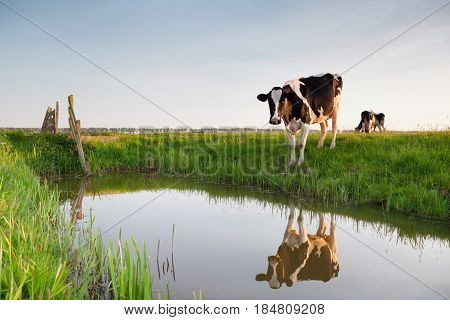 cow on green pasture by river on farmland