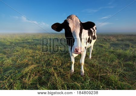 cow on misty summer pasture in morning