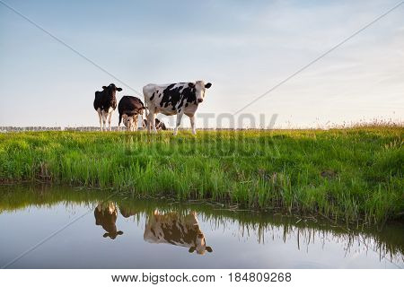 few cows on pasture reflected in river