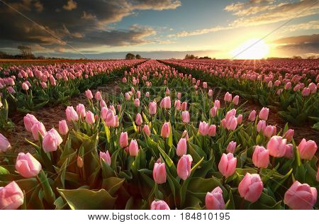 sunset over pink tulip field Groningen Netherlands