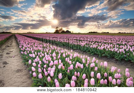 sunshine over tulip field in the Netherlands
