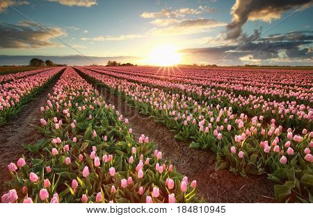 beautiful sunset over field with pink tulips Holland