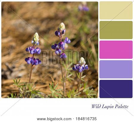 Delicate wild lupin flowers in Yosemite National Park, in a colour palette with complimentary colour swatches.