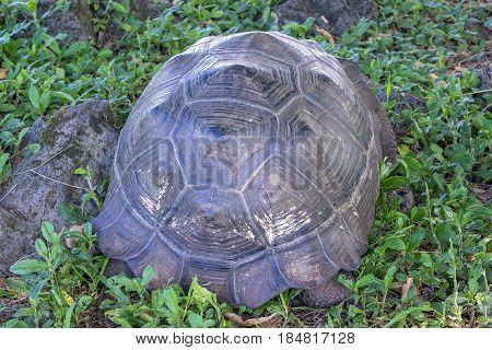 Close Up of Giant Tortoise of Santa Cruz in Galapagos Islands Ecuador