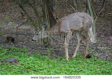 Deer grazing in a park located in Boise, Idaho.