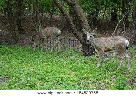 Deer grazing in a forested park at Boise, Idaho.