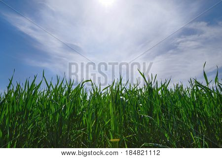 Agricultural Rural Background. Panoramic View To Spring Landscape In Sunny Day With A Field Of Green