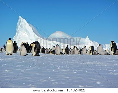 Emperor penguin standing on snow. Clear day. Close-up. Antarctica