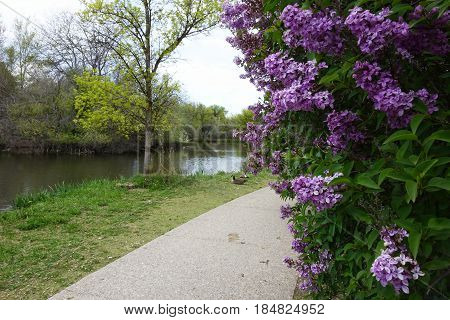 Purple lilacs add color and fragrance to the spring air in Boise, Idaho.