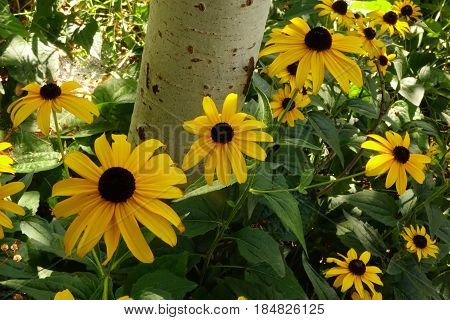 Black-Eyed Susans (Rudbeckia) provide sunny color beside the white bark of an Aspen tree.