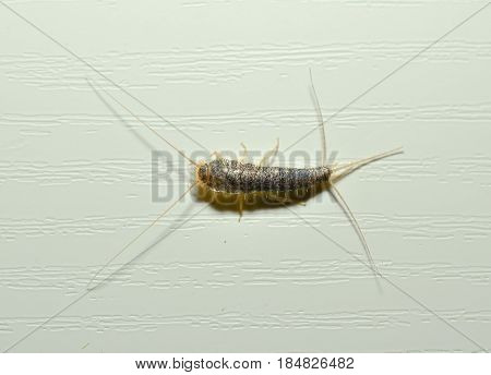 macro of a Silverfish on a white wall
