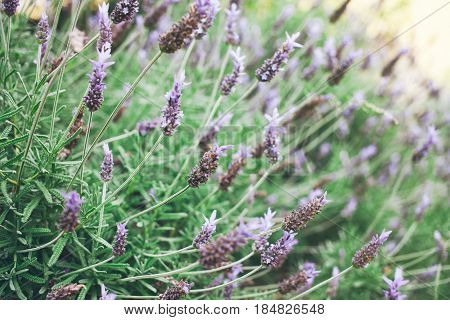Blooming lavender flowers in the park. Selective focus