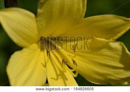 Hemerocallis citrina is natural habitat of asia and china. Eatable and beautiful.